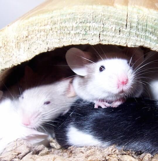 Shaved Mice Research